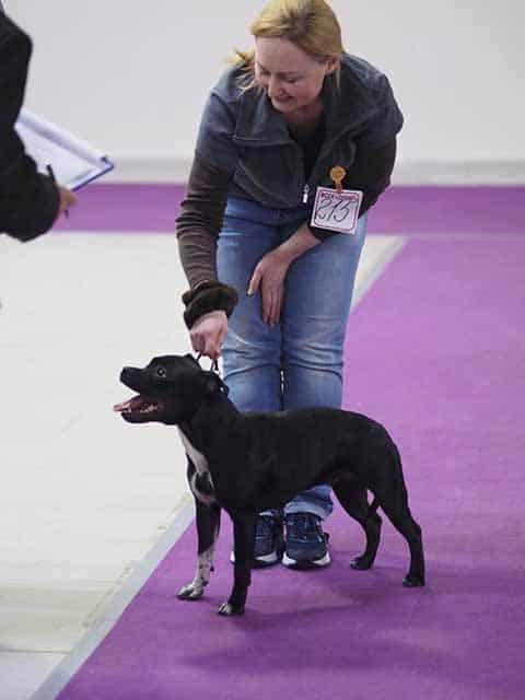 выставка собак стаффордширский бультерьер
