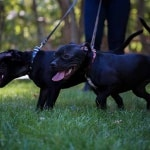 стаффордширский бультерьер щенки