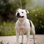 staffordshire bull terrier
