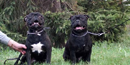 Подрощенные щенки стаффордширского бультерьера